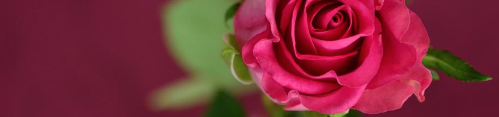 Rose im Topf gießen