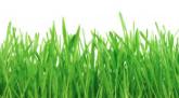 Rasen wässern: Grashalm